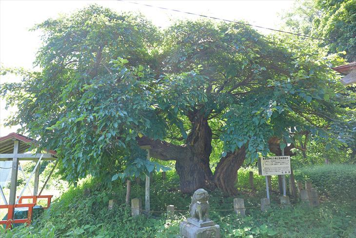 恵美須神社の桑記念保護樹木