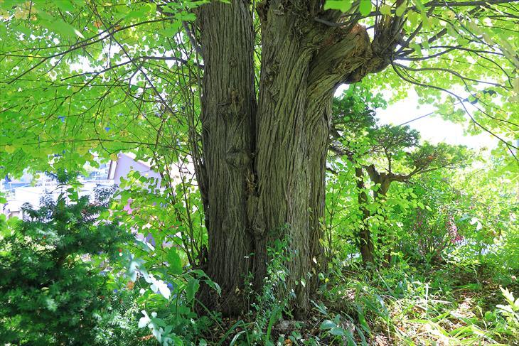 小樽伏見稲荷神社の木