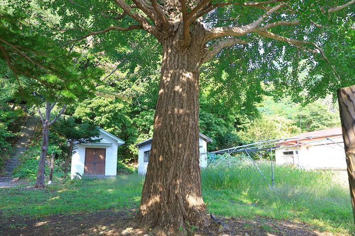 忍路神社の保存樹木